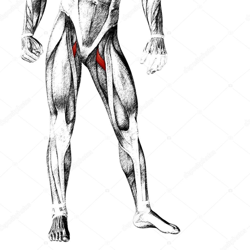 menschliche Oberschenkel-Anatomie — Stockfoto © design36 #96295266