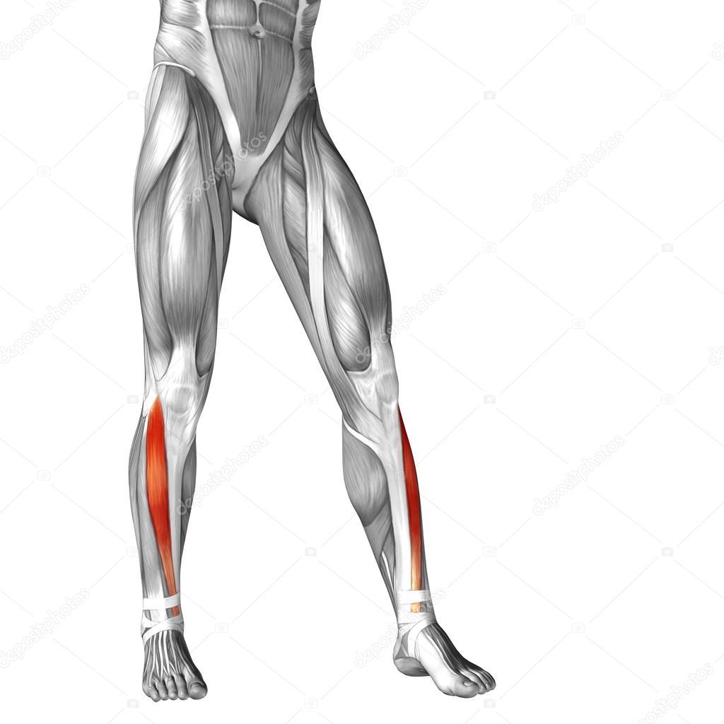 menschlichen Unterschenkel — Stockfoto © design36 #96295592
