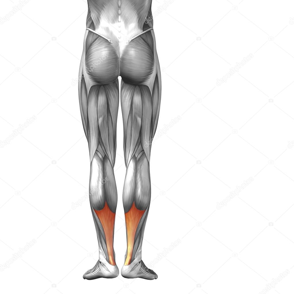 Human lower legs stock photo design36 96296442 concept or conceptual 3d achilles tendon human lower legs anatomy or anatomical and muscles isolated on white background photo by design36 ccuart Image collections
