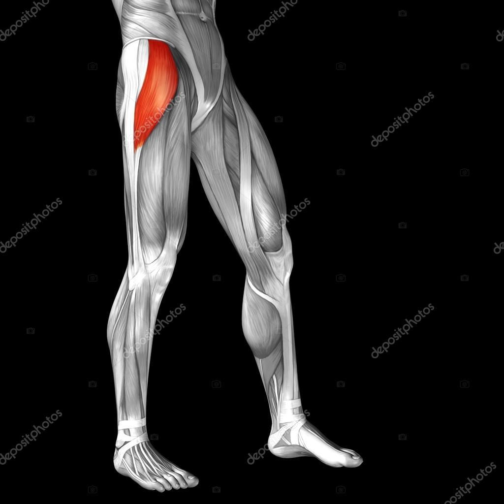 menschliche Oberschenkel-Anatomie — Stockfoto © design36 #96297756