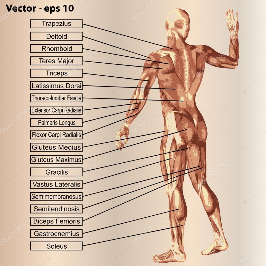 Anatomi Kas Ve Metin Ile Stok Illstrasyon