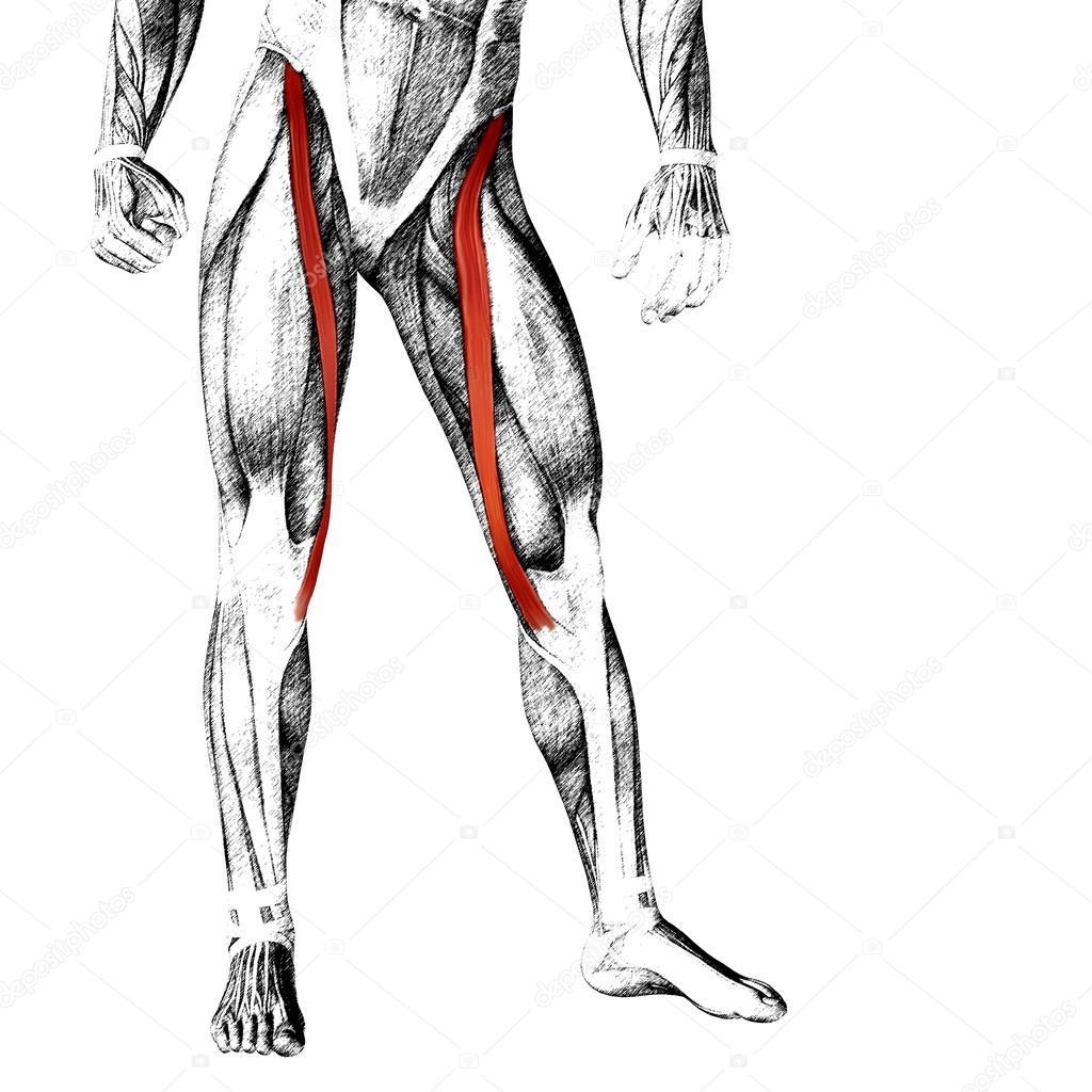 menschliche Oberschenkel-Anatomie — Stockfoto © design36 #96301398