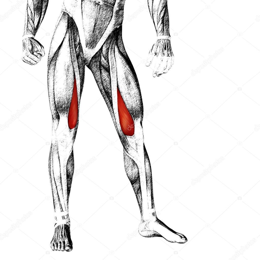 menschliche Oberschenkel-Anatomie — Stockfoto © design36 #96303834