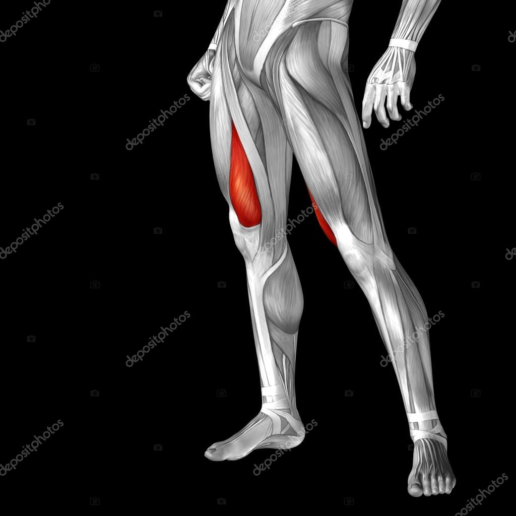 anatomía humana piernas superiores — Foto de stock © design36 #98322292