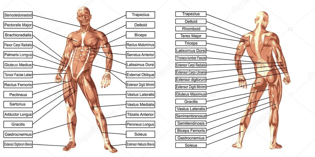 Anatomie van de mens en spieren — Stockfoto © design36 #98337366