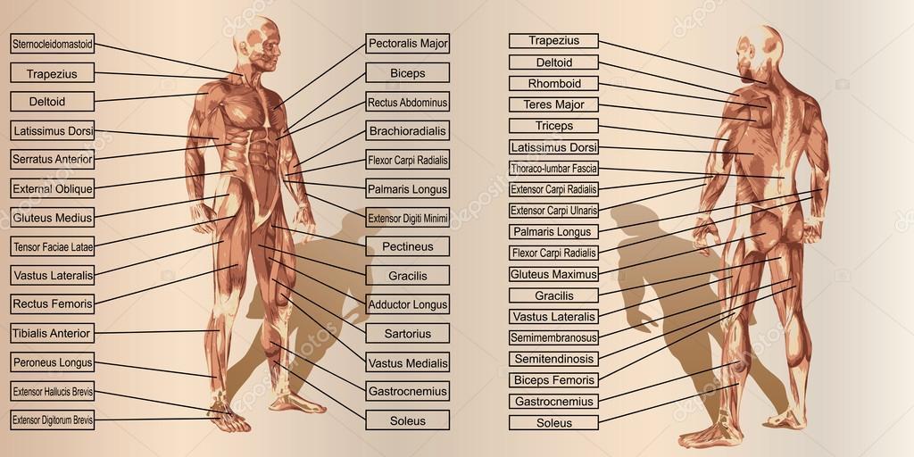 texto y anatomía de hombre — Fotos de Stock © design36 #98337508