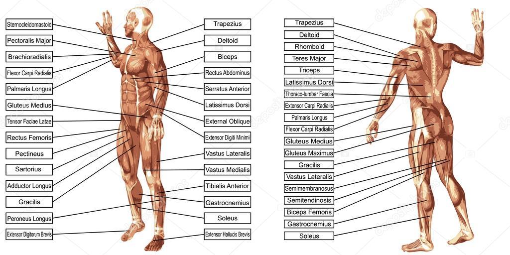 Mensch-Anatomie und Muskeln — Stockfoto © design36 #98337576