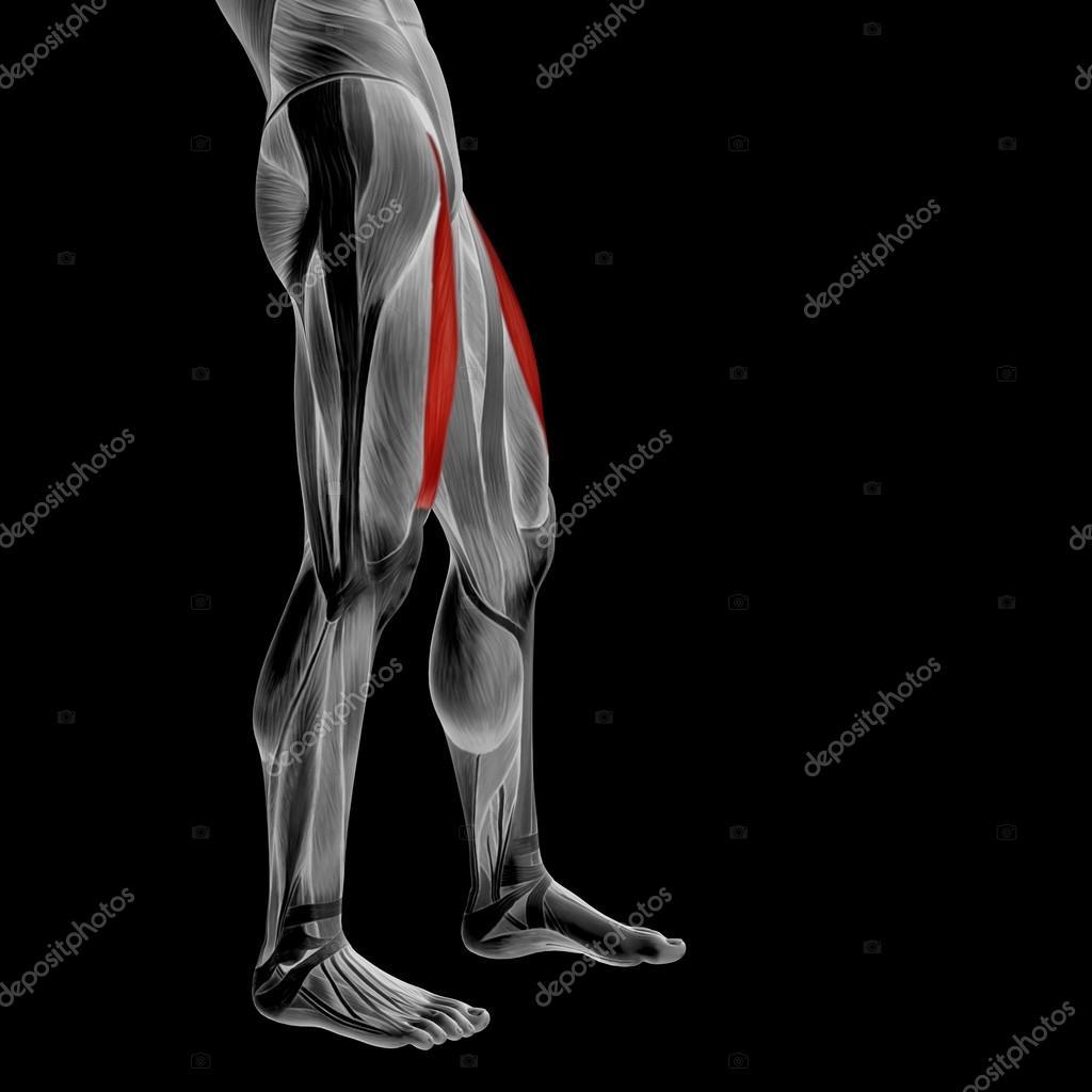 músculos y piernas superior anatomía — Fotos de Stock © design36 ...