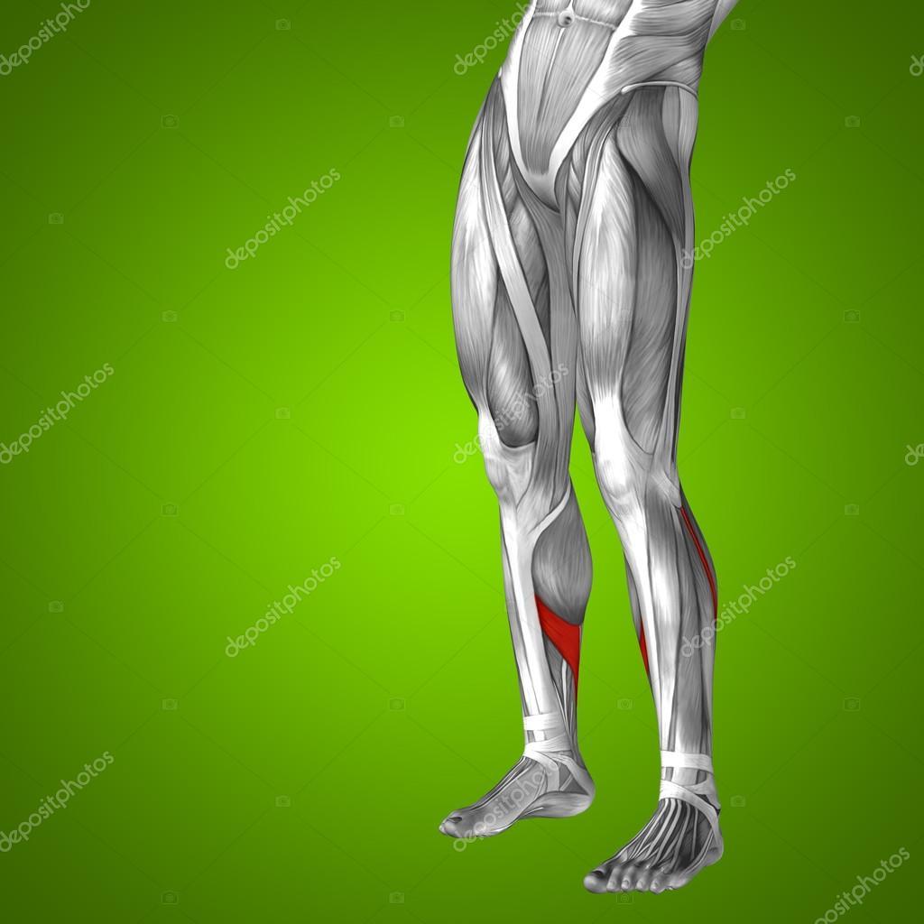 Unterschenkel anatomische und Muskeln — Stockfoto © design36 #98338462
