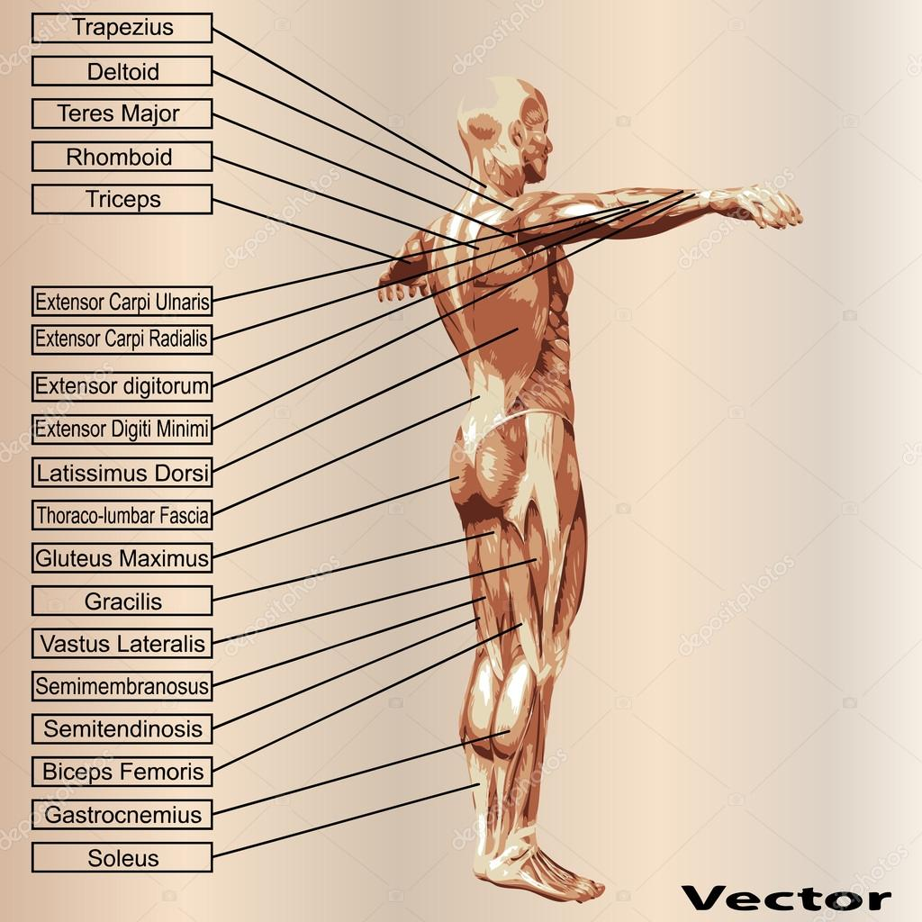 3D Anatomie des Menschen männlich mit Muskeln und text — Stockvektor ...