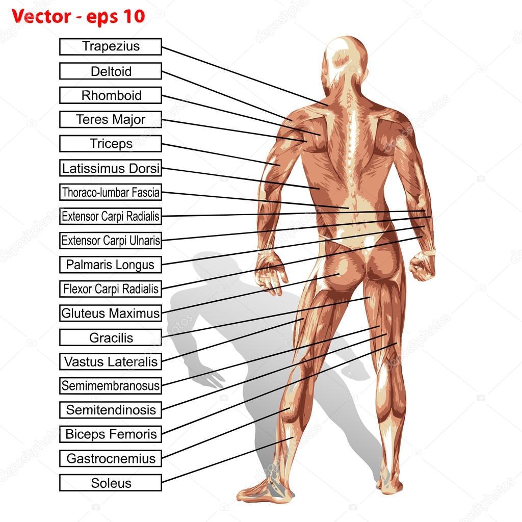 anatomía humana hombre con músculos — Vector de stock © design36 ...