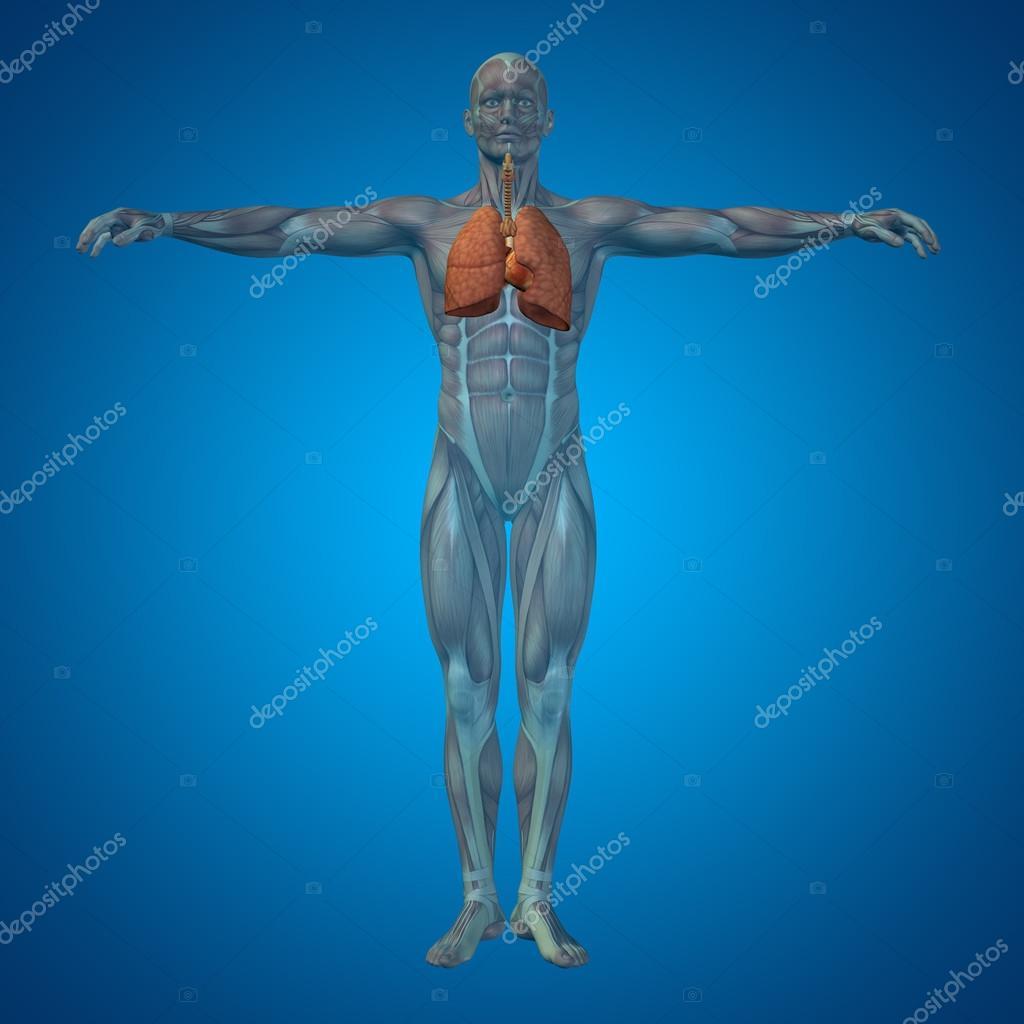Anatomische menschlichen Atemwege — Stockfoto © design36 #98737836