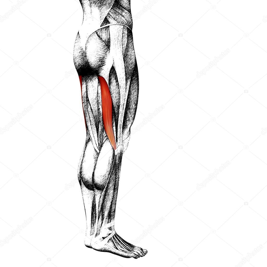 anatomía humana piernas superiores de gastrocnemio — Foto de stock ...