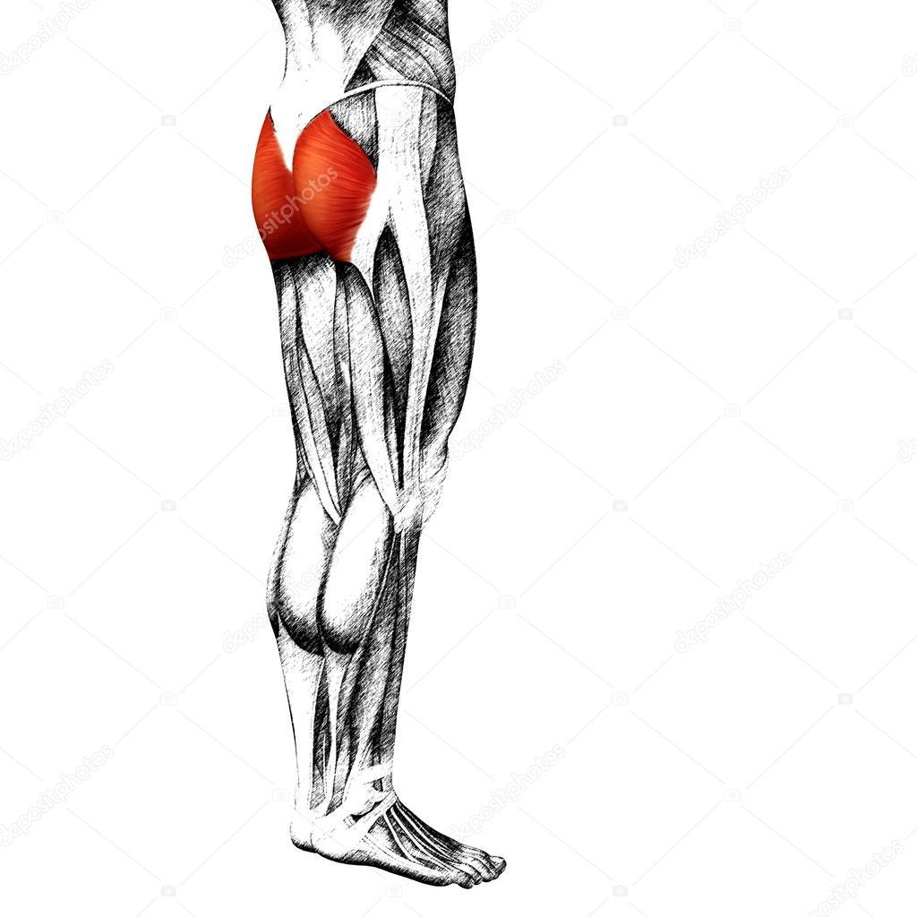 Wadenmuskel menschliche Oberschenkel-Anatomie — Stockfoto © design36 ...