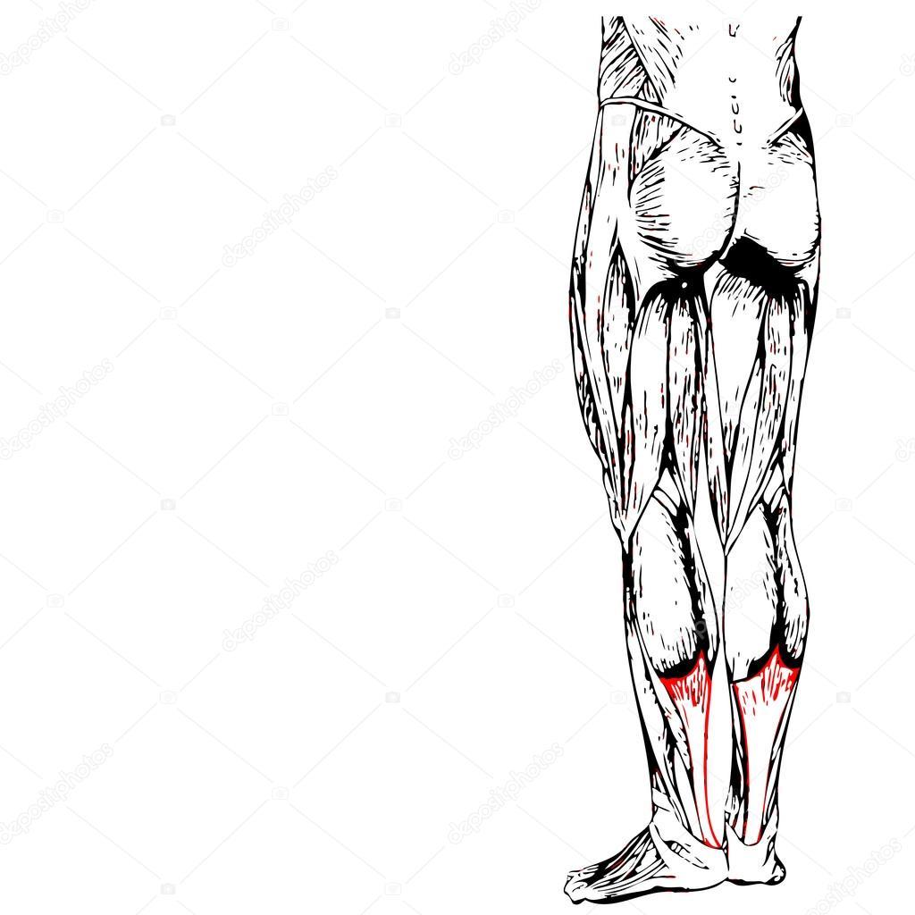 Wadenmuskel unteren Beine Anatomie des Menschen — Stockfoto ...
