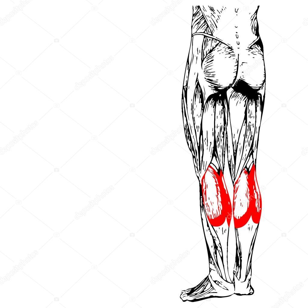 gastrocnemio inferior piernas anatomía — Fotos de Stock © design36 ...