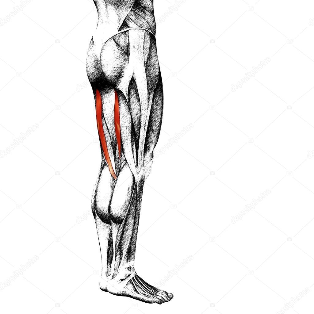 menschliche Oberschenkel-Anatomie — Stockfoto © design36 #98977822