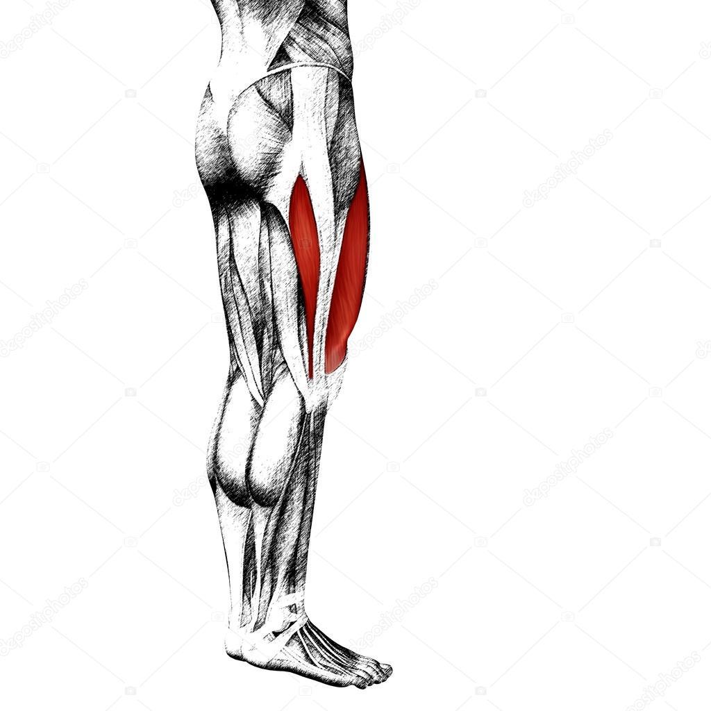 menschliche Oberschenkel-Anatomie — Stockfoto © design36 #98978012