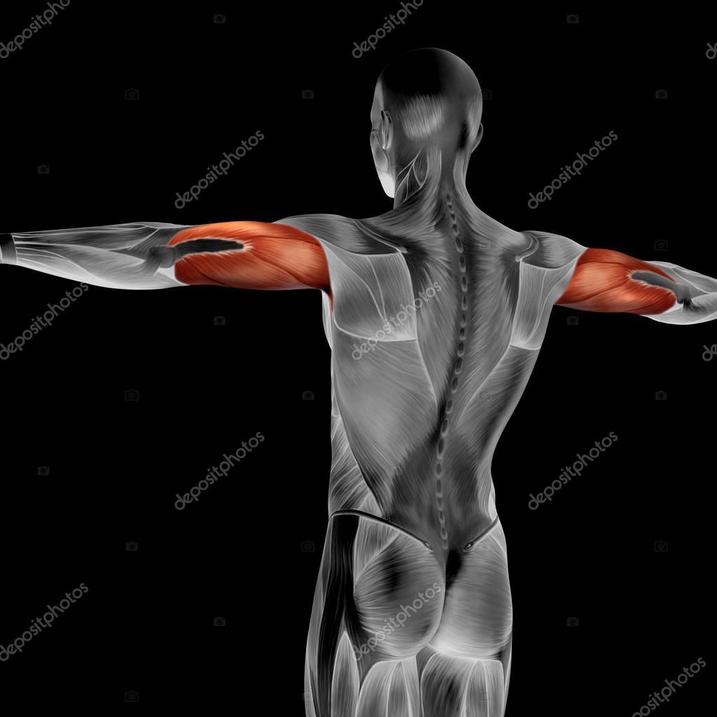 Trizeps menschliche Anatomie — Stockfoto © design36 #98978136