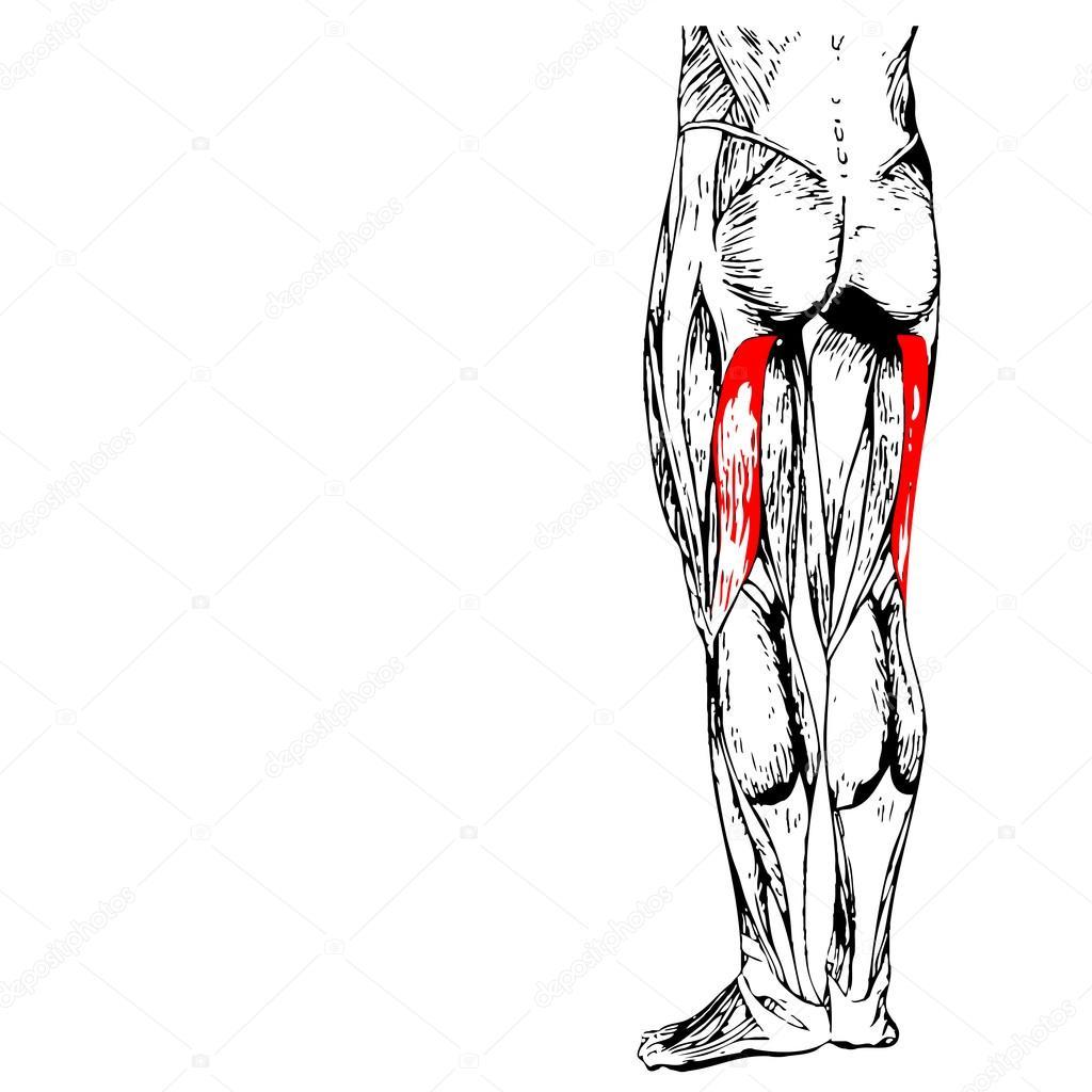 menschliche Oberschenkel-Anatomie — Stockfoto © design36 #98978246