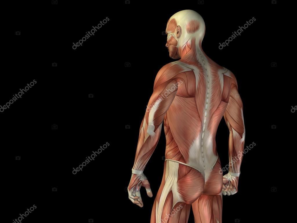 Cuerpo superior anatomía — Fotos de Stock © design36 #98978842