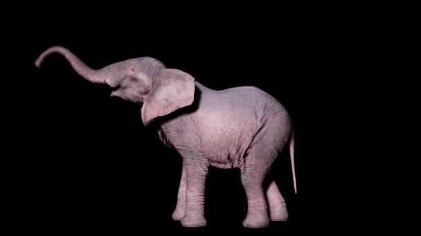 Nagy afrikai elefánt eszik lombozat fák elszigetelt alapon alfa csatorna. Zökkenőmentes hurkos animáció állatok, természet és oktatási hátterek számára.