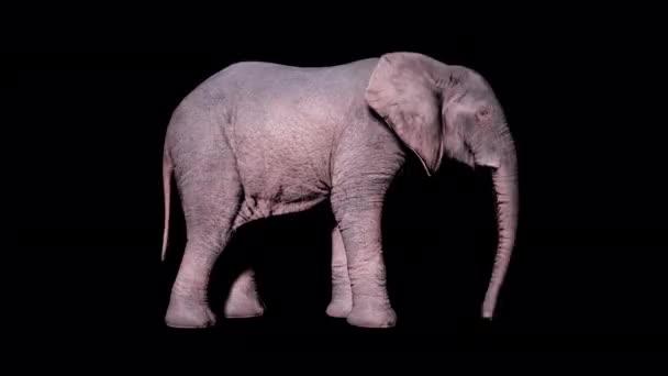 Velký africký slon jí trávu ze země na izolovaném pozadí s alfa kanálem. Bezproblémová smyčková animace pro zvířata, přírodu a vzdělávací prostředí.