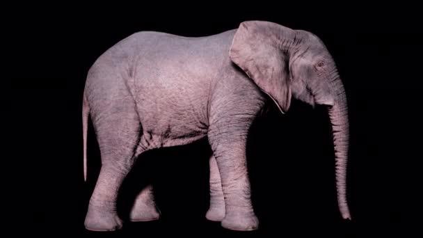 Velký africký slon stojí na zemi na izolovaném pozadí s alfa kanálem. Bezproblémová smyčková animace pro zvířata, přírodu a vzdělávací prostředí.