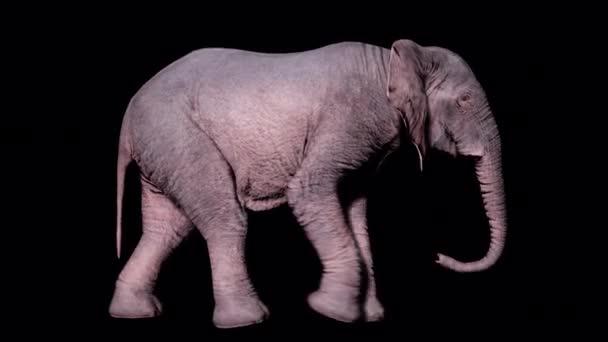 Nagy afrikai elefánt sétál a földön egy elszigetelt háttér alfa csatorna. Zökkenőmentes hurkos animáció állatok, természet és oktatási hátterek számára.