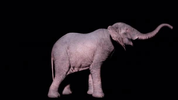 Velký africký slon trumpetuje na izolovaném pozadí s alfa kanálem. Bezproblémová smyčková animace pro zvířata, přírodu a vzdělávací prostředí.