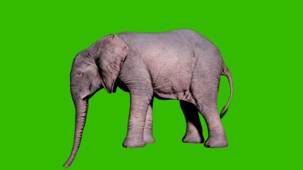 Egy nagy afrikai elefánt füvet eszik a földről a zöld vászon előtt. Zökkenőmentes hurkos animáció állatok, természet és oktatási hátterek számára.