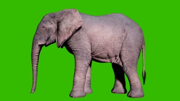 Nagy afrikai elefánt áll a földön előtt zöld képernyő. Zökkenőmentes hurkos animáció állatok, természet és oktatási hátterek számára.