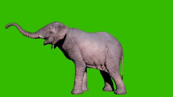 Velký africký slon trumpetuje před zelenou clonou. Bezproblémová smyčková animace pro zvířata, přírodu a vzdělávací prostředí.