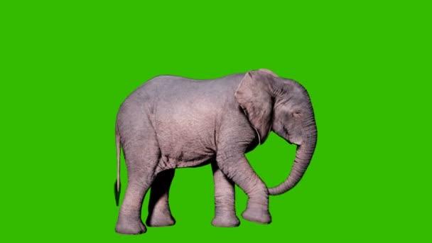 A nagy afrikai elefánt a zöld vászon előtt ássa a földet. Zökkenőmentes hurkos animáció állatok, természet és oktatási hátterek számára.