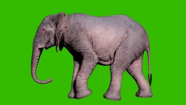 Velký africký slon kráčí po zemi před zeleným plátnem. Bezproblémová smyčková animace pro zvířata, přírodu a vzdělávací prostředí.