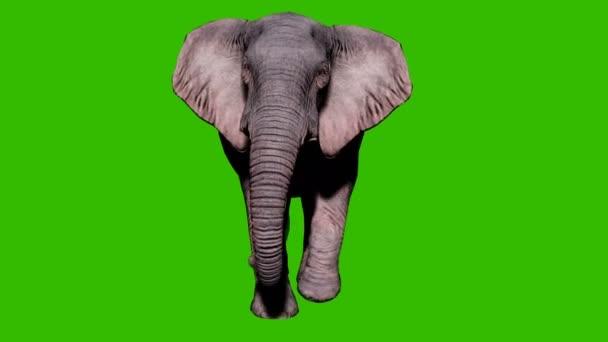 Nagy elefánt sétál a földön a zöld vászon előtt. Zökkenőmentes hurkos animáció állatok, természet és oktatási hátterek számára.