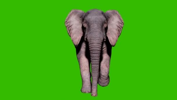 Nagy elefánt fut a földön előtt zöld képernyő. Zökkenőmentes hurkos animáció állatok, természet és oktatási hátterek számára.