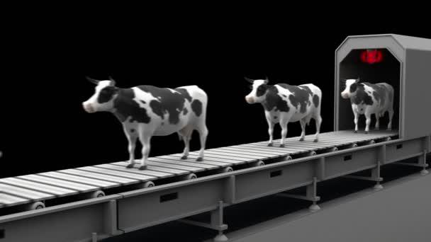 Krávy na dopravní pás