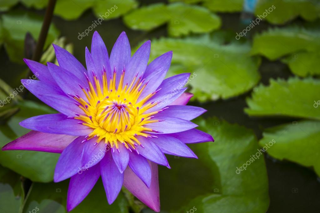 Beautiful purple waterlily or lotus flower in pond in nature lotus flower or waterlily represents one symbol of fortune in buddhism it grows in muddy water lotus pond photo by dekhard mightylinksfo