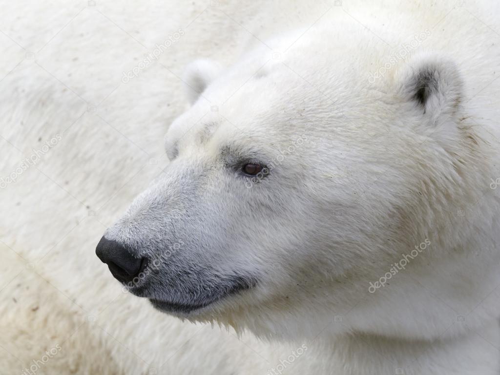 polar bear head stock photo natam 73567953