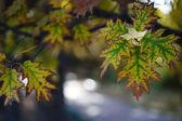 Tölgy, őszi levelek