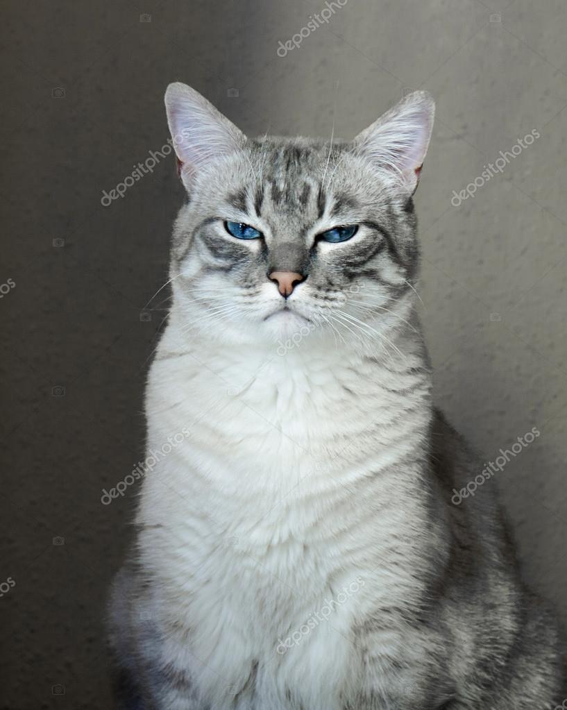 Portret Szary Kot Z Niebieskimi Oczami Zdjęcie Stockowe Alika
