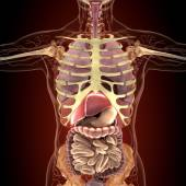 Anatomie lidských orgánů v rentgenové zobrazení