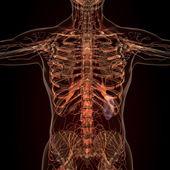 Fotografie Anatomie menschlicher Organe im Röntgenbild