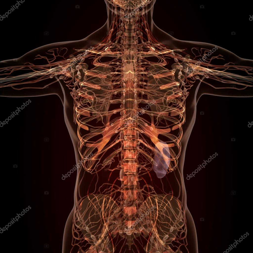Anatomie des menschlichen Organen in der Röntgen-Ansicht — Stockfoto ...