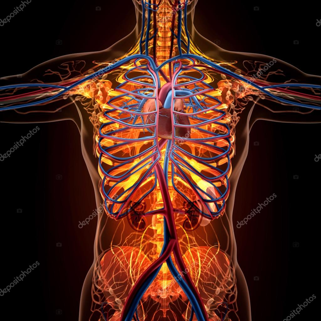 Anatomy Of Human Organs In X Ray View Stock Photo Sector 2010 Torso Diagram