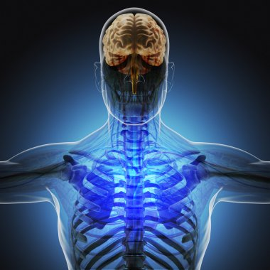 The human body (organs) by X-rays on blue background. High resolution.