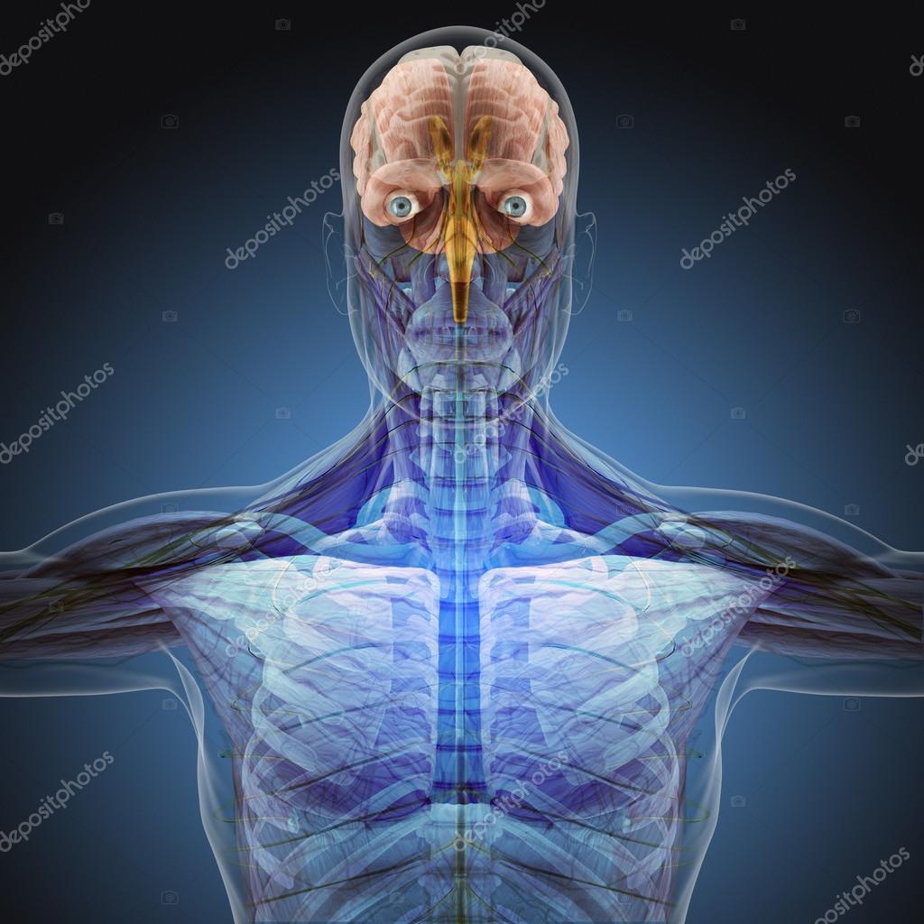 Der menschliche Körper mit Röntgenstrahlen auf blauem Hintergrund ...