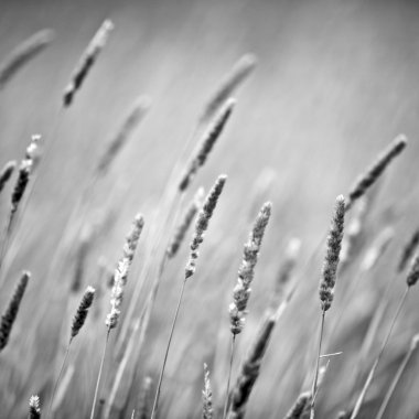 Reeds blowing, rural setting