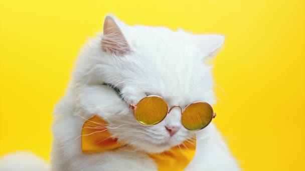 Portrait of white furry cat in fashion sunglasses and bowtie. Luxurious domestic kitty in glasses poses on yellow wall background. Studio footage.